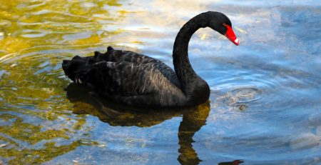 black swan swimming, sheaff brock assesses the post-pandemic market